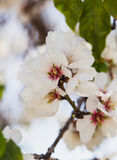 Blossoming almond tree flowers in springtime Royalty Free Stock Photography
