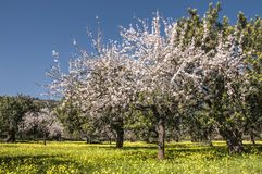 Blossoming almond tree Stock Image