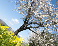 Blossoming almond tree Royalty Free Stock Photo