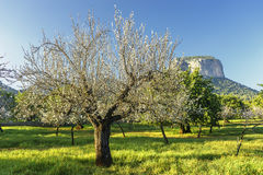 Blossoming almond tree Stock Photography