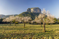 Blossoming almond tree Stock Images