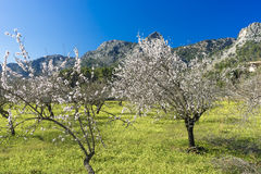 Blossoming almond tree Stock Photos