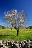Blossoming almond tree Royalty Free Stock Photography