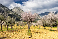 blossoming almond tree Royalty Free Stock Image
