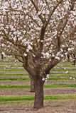 Blossoming almond tree in an orchard. With light pink blossoms and new spring grass Stock Photography