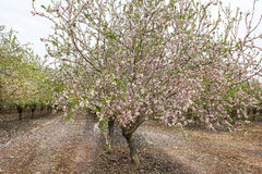 Blossoming almond tree orchards Royalty Free Stock Photo
