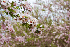 Blossoming almond tree orchards Royalty Free Stock Photography