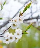 The blossoming almond tree in the spring park. royalty free stock photo