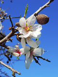 Blossoming almond tree Royalty Free Stock Images