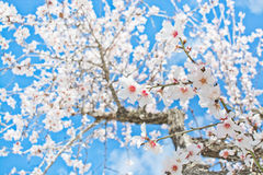 Blossoming almond trees Stock Photography