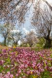 Blossoming almond trees and purple flowers in a field during ear Stock Photo