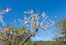 Blossoming almond trees Royalty Free Stock Photo