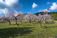 Blossoming almond trees Royalty Free Stock Photos