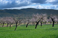 Blossoming almond trees Royalty Free Stock Images
