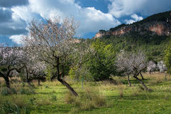Blossoming almond trees Royalty Free Stock Image