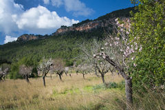 Blossoming almond trees Stock Image