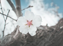 Blossoming almond trees Stock Photos
