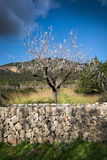 Blossoming almond trees Stock Images