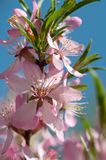 Blossoming almonds Stock Image