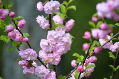 The blossoming almonds three-blade Prunus triloba Lindl., clos Stock Image