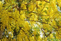 Blossoming of the amaltas. In summer time, its also known as golden shower tree royalty free stock photos