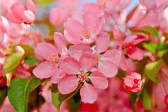 Blossoming apple royalty free stock image