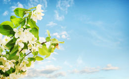 Blossoming apple against blue sky Stock Images