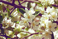 Blossoming apple. Bee pollinates flower Stock Photos