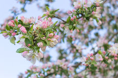 Blossoming apple Stock Photos