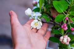 Blossoming apple bonsai with tools on a light gray background. Royalty Free Stock Photography