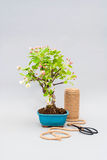 Blossoming apple bonsai with tools on a light gray background. Royalty Free Stock Image