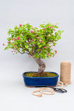 Blossoming apple bonsai with tools on a light gray background. Royalty Free Stock Photo