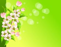 Blossoming apple branch Stock Images