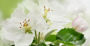 Blossoming apple. Branch of apple tree in bloom in the spring Royalty Free Stock Photos