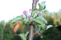 Blossoming apple branch Royalty Free Stock Images