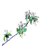 Blossoming apple branch in early spring Stock Image