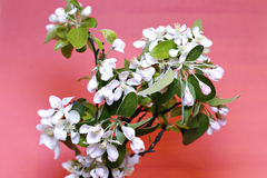 Blossoming apple branch in early spring Stock Photo