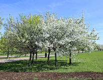 Blossoming apple branch in spring Royalty Free Stock Photos