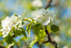 Blossoming apple branch in the spring garden. selective focus macro shot with shallow DOF Royalty Free Stock Photos