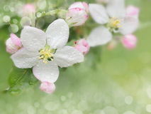 Blossoming apple Royalty Free Stock Photos