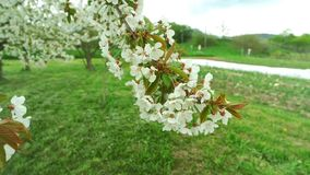 Blossoming apple stock footage