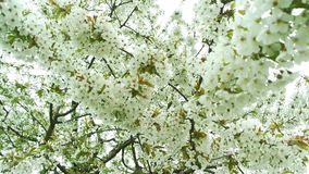 Blossoming apple stock video footage
