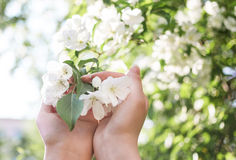 Blossoming apple branch in women`s hands. Soft light gentle background Stock Photos