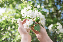Blossoming apple branch in women`s hands. Soft light gentle background Royalty Free Stock Photography