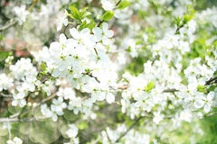 Blossoming apple branches, with blur and soft-focus, background Stock Images