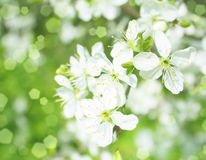 Blossoming apple branches, with blur and soft-focus, background Royalty Free Stock Photos