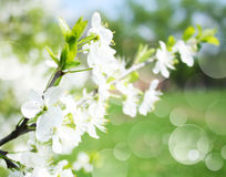 Blossoming apple branches, with blur Royalty Free Stock Image