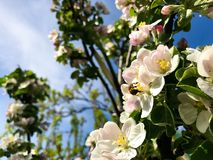 Blossoming apple brunch over nature background. Spring blooming garden flowers stock images