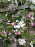 Blossoming apple and chafer Stock Image