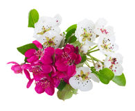 Blossoming Apple and cherry tree Flowers Royalty Free Stock Photo